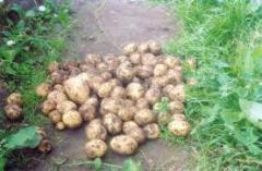 Картофель, Чернигов