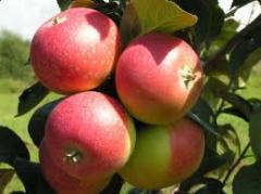 Продажа саженцев яблони Киев