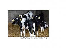 Veal Meat / la Carne de vaca