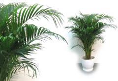 Rośliny palmowe pokojowe