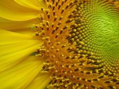 Семена подсолнуха  Богдан (евролайтнинг)