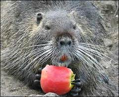 To buy a nutria the Kiev Region.