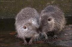 I will sell to a nutria!!!!!!!!!!!!!! a male and a