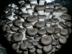Мицелий вешенки Штамм КЧ (китайский черный)