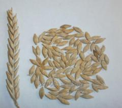 Barley seeds Modernist style 1 reproduction