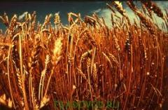Семена озимой пшеницы сорт Подолянка