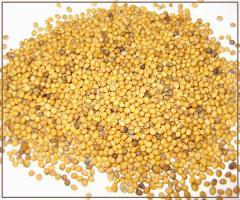Mustard yellow expor