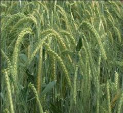 Barley summer grade Eksplorer (SECOBRA)