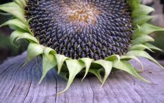 Семена подсолнечника сорт Вкусняшка (кондитерский) Р1
