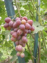 Виноград для северного виноградарства,