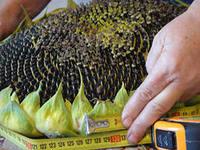 Humate fertilizer on sunflower