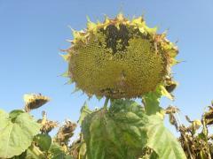 Sunflower hybrids