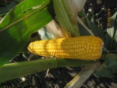Посевная кукуруза Кремень- 200 СВ (НААН)