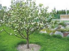 Деревья плодовые, продажа
