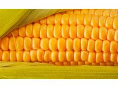 Семена кукурузы НС 2014 (Нови Сад)