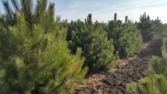 New Year's pines (fir-trees)