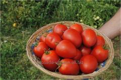 Розсада томати