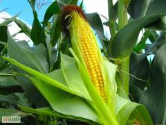 Семена кукурузы НС-2060 (Нови Сад ,  Сербы)...