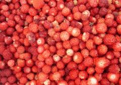 Wild strawberry garden wholesale