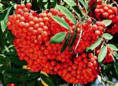 Mountain ash wholesale
