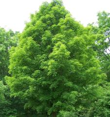 Saplings of poplar