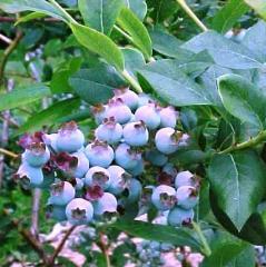 Blueberry Blyukrop