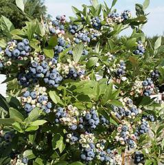 Seedlings of bog bilberries