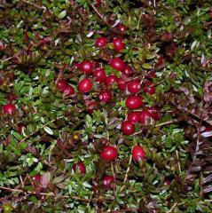 Cranberry seedlings