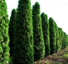 Arborvitae seedlings
