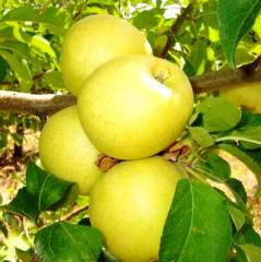 Apple-tree Golden Delishes Reynders
