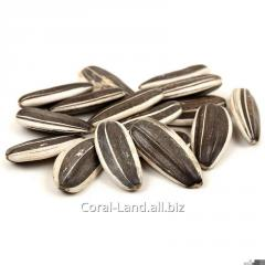 Sunflower seeds white