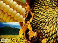 Посевной материал полсолнуха,и кукурудзы.Компания