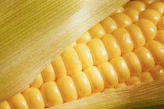 Семена гибрида кукурузы 181 СВ Товтрянський 188 СВ
