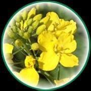 Семена Рапса Jura