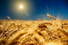 Семена озимой пшеници