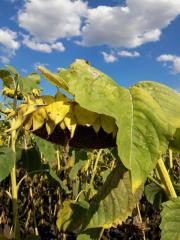 Семена гибрида подсолнечника Хорс