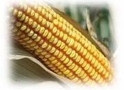 Семена кукурузы ES Garant ФАО 300 Evralis Simences