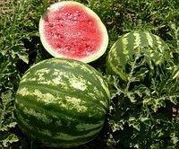 Seeds of a water-melon of tavriyskiya
