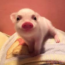 BMVD for pigs Growth tm Kormil