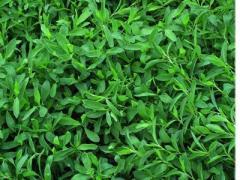 Газонная трава из спорыша