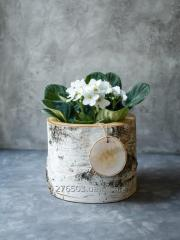 "Flowerpot of ""Clasico"" the Birch"