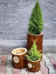 """Flowerpot of """"Grande"""" a pine"""