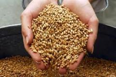 Зерно, зерновые культуры. Пшеница, ячмень,