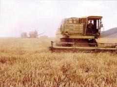 Культуры зерновые. Пшеница,ячмень, кукуруза, рапс.