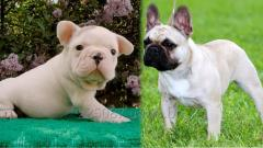 Puppies of dogs of the French bull terrier