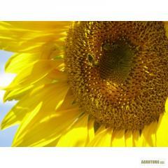 Семена подсолнечника Евралис Генезис