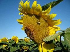 Семена подсолнечника Евралис Ниагара