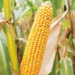 Семена кукурузы Евралис Дельфин