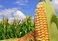 Семена кукурузы Евралис ЕС Кубус