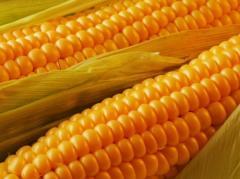 Семена кукурузы Евралис ЕС Гарант